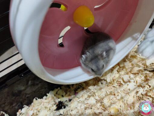 Hamster Winter White Saphia