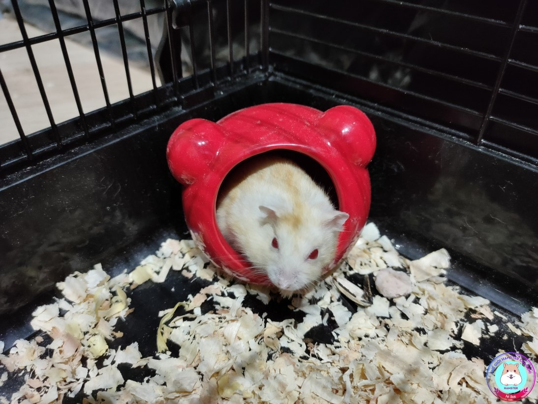 Hamster Winter White màu vàng chanh